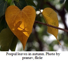 Peepul leaves in autumn by pranav at flickr