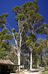 Lemon gum - photo by Bidgee at Wikimedia