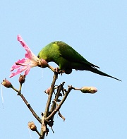 Parakeet feeding on ceiba tree flower - photo by mauroguanandi via Flickr
