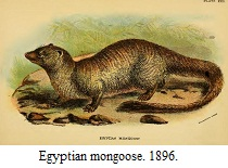 Egyptian mongoose - Lloyd's Natural History by R Lydekker - 1896