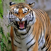 Bengal tiger - photo by Claudio Gennari at Flickr