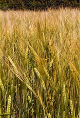 Ripening barley - photo by Colin-47_Away for a while - via Flickr