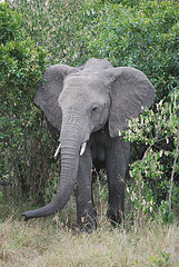 Elephant in Kenya - photo by Chadica via Flickr