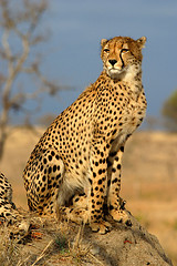 Cheetah - photo by James Temple via Flickr