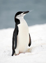 Penguin at Antarctica - photo by Christopher Michell via Flickr