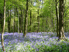 Bluebells near Shoreham - Kent - image by Matt Lake via Flickr
