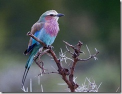 Lilac-breasted roller - photo by Tarique Sani via Flickr CC by NC-SA 2 0