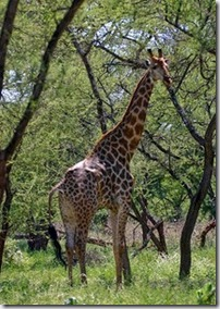 Mopane and giraffe - Zimbabwe - photo by Brian Gratwicke via Flickr CC by NC 2 0